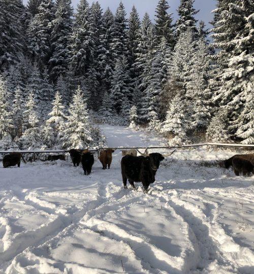 Škotsko govedo